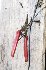 Scissors for pruning in the vineyard