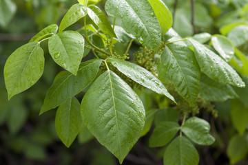 Giftsumachblatt