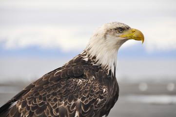 Closeup portrait of a bald eagle, Alaska
