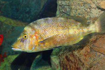 Flame-colored snapper or Waigiu snapper (Lutjanus fulvus)