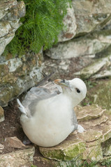 Nesting Female Fulmar