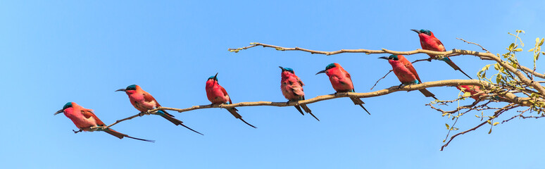 Seven bee eaters sitting on a branch