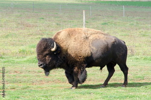 Aluminium Buffel bison