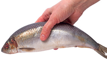Atlantic herring in the hand