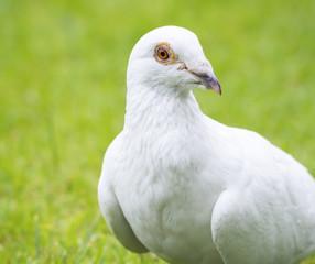 white pigeon bird standing on green grass