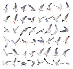 flying seagull actions isolated on white