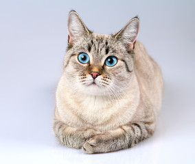Portrait of cute cat with blue eyes