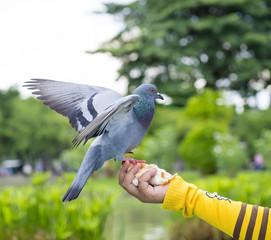 pigeon bird in the park