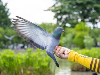 pigeon bird standing on woman hand