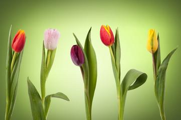 Tulpenreihe - Frühling