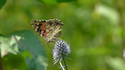 Butterfly. Painted Lady. Vanessa cardui. Collecting nectar