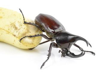 Beetle,Rhinoceros beetle, Rhino beetle, Hercules beetle