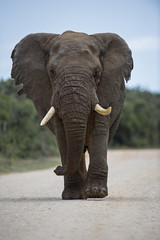 Addo Elephant approach