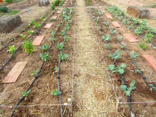 field with  vegetable seedlings