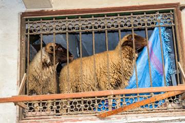 Schafe in der Wohnung- Altstadt von Marrakesch