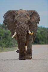 Addo Elephant HDR