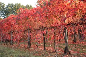 filari di vigneti vitigni di lambrusco grasparossa