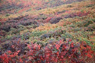 vigneto colorio d'autunno vista dall'alto