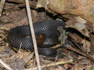 Coiled up black viper