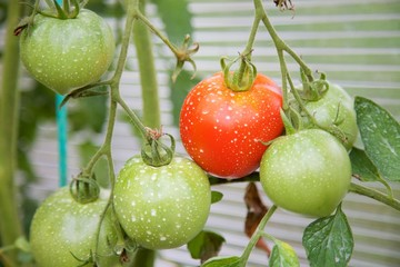 Fertilized Tomatoes