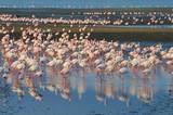 Flamingos (Phoenicopteridae) bei Walvisbay