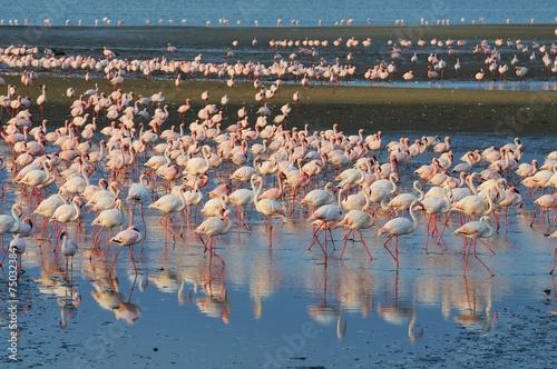 Foto Spatwand Flamingo Flamingos (Phoenicopteridae) bei Walvisbay