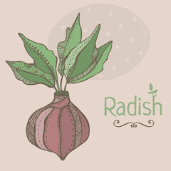 Vector illustration of radish. Hand drawn colorful vegetable