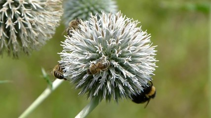 Honey bees and bumblebee collecting nectar form echinops