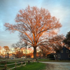 Golden Farm Tree at Sunset