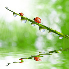 Fresh green grass with dew drops and ladybugs closeup