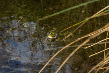 Frog in heat with puffy bags resonance. Pond