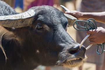 Buffalo market in Rantepao