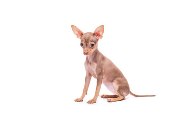 Puppy dog Toy Terrier isolated on white background studio