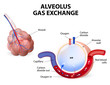 Alveolus. gas exchange - 75042557