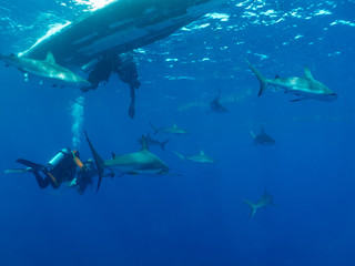 a lot of Caribbean reef sharks and scubadivers