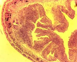Nemertine worm (Lineus gesserensis) transverse slit slide plate
