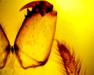 Spider (Araneae) chelicerae and pedipalps permanent slide plate