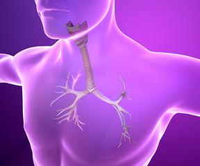 Bronchi ai raggi x e corpo umano