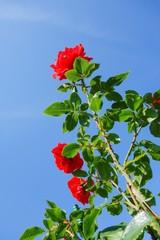 Rote Rosen wachsen in den Himmel, Hochformat