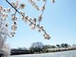 Washington Cherry Blossoms around Tidal Basin 2010