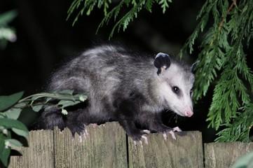 Virginia Opossum on a Fence Profile