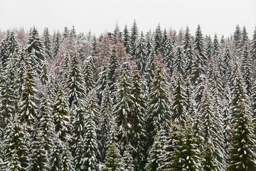 High mountain snowy spruce forest, covered by hoar frost and the