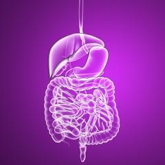 Apparato digerente, organi interni corpo umano raggi x