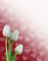 three white tulips red bokeh valentine's background with hearts
