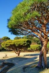 庭園の松の木