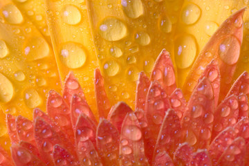 Closeup of yellow daisy with water droplets.
