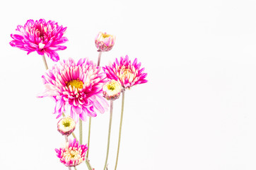pink chrysanthemum on white background,isolate