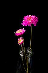 pink chrysanthemum on black background