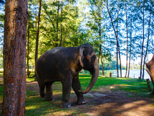 elephant walks on the wood in Thailand