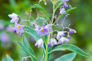 Solanum melanoxylon, Solanaceae, southern Brazil